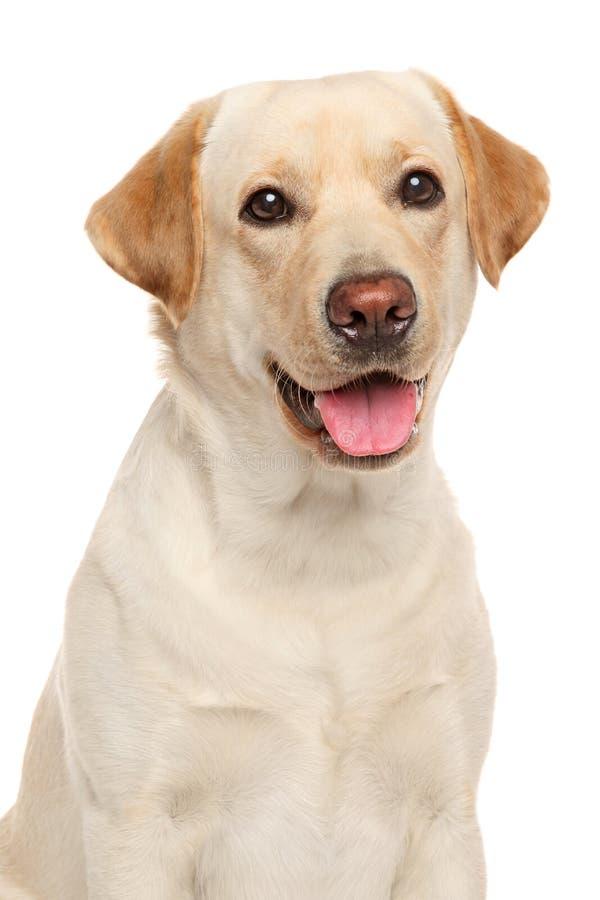 Close-up de um Labrador fotografia de stock