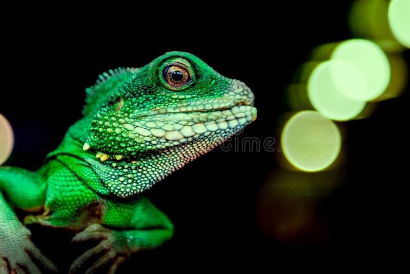 Close-up de um lagarto bonito verde fotografia de stock