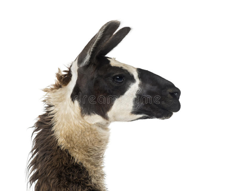 Close-up de um lama foto de stock royalty free