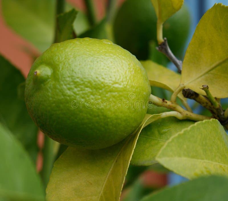 Close up de um limão verde com ramos e folhas Fundo verde Árvore de limão foto de stock