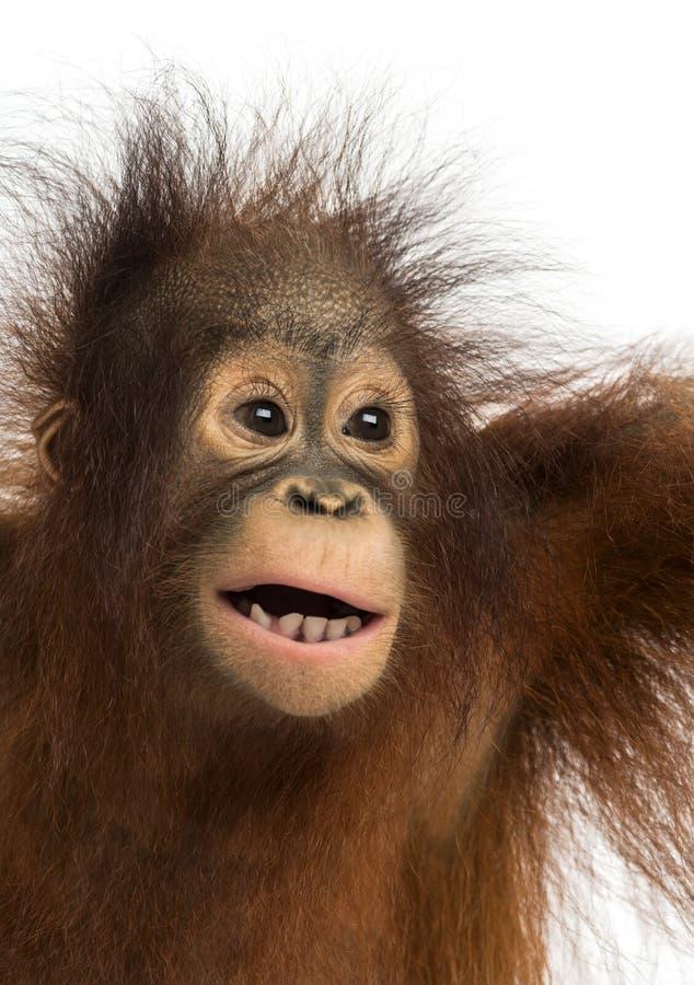 Close-up de um orangotango novo de Bornean, boca aberta foto de stock