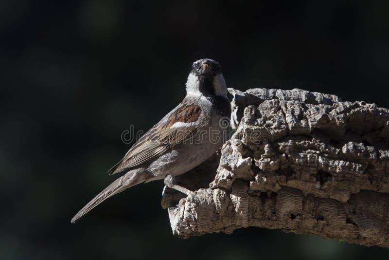 Close up de um pássaro masculino do pardal de casa foto de stock royalty free