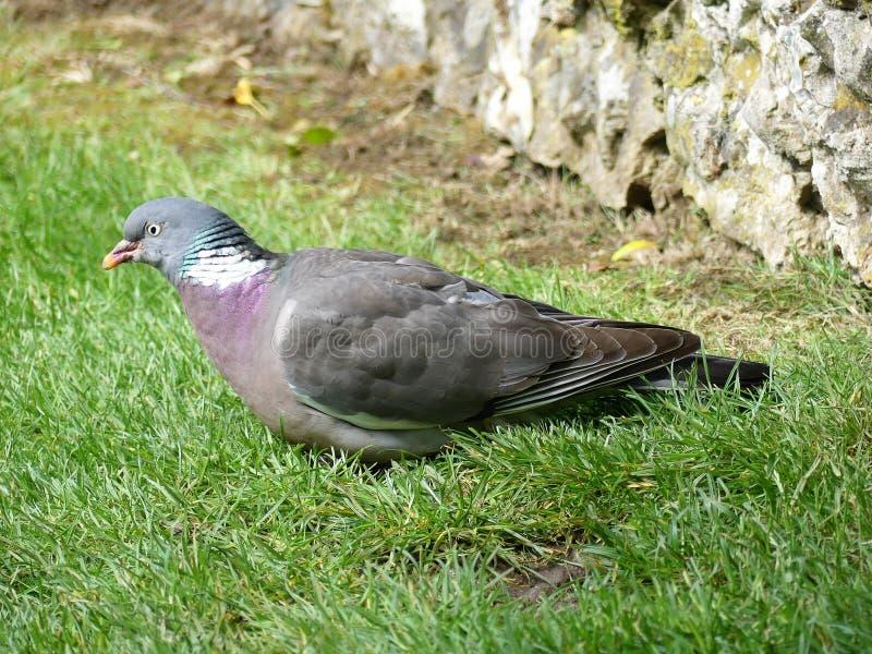 Close-up de um palumbus comum do Columba do pombo torcaz na terra no jardim imagens de stock