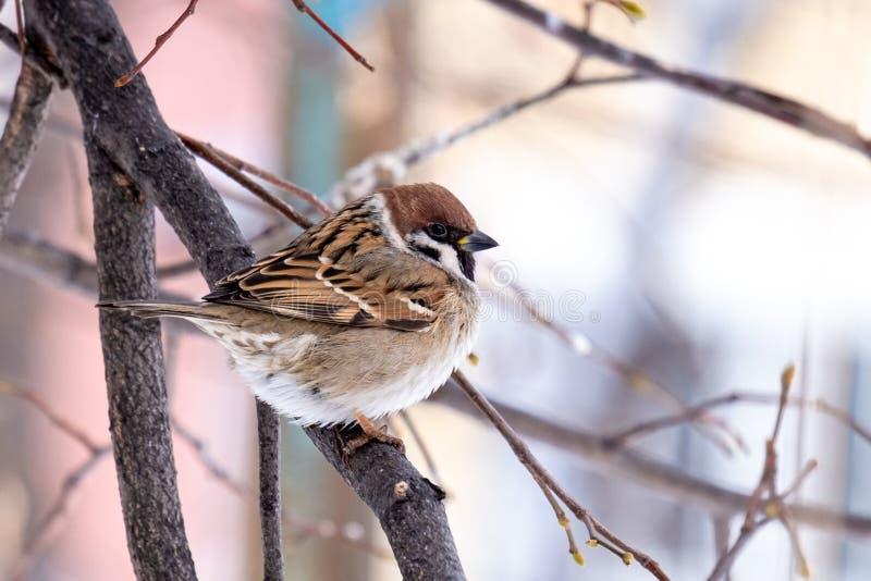 Close-up de um pardal enrugado em um ramo no inverno imagens de stock royalty free