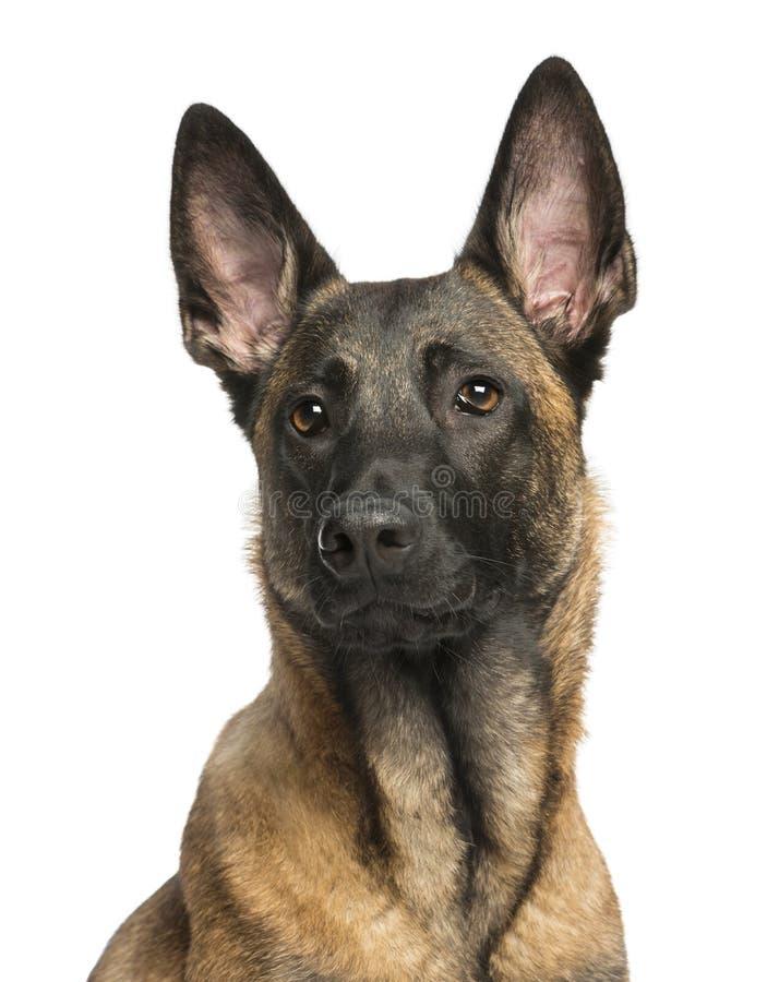 Close-up de um pastor belga Dog imagens de stock