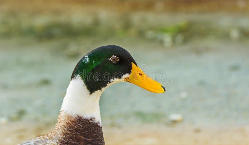 Close up de um pato colorido do pato selvagem ou do pato selvagem (homem) fotografia de stock royalty free