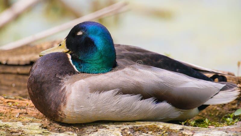 Close up de um pato masculino do pato selvagem com cabeça verde iridescente - zona sujeita a inundações recolhida do rio de Minne fotos de stock