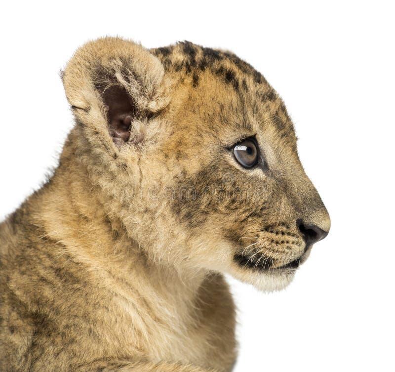 Close-up de um perfil do filhote de leão, 7 semanas velho, isolado imagem de stock