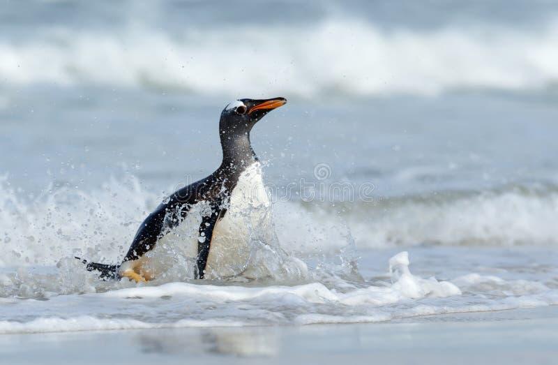 Close-up de um pinguim de Gentoo que espirra na água do oceano imagem de stock royalty free