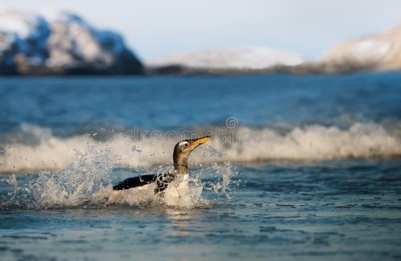 Close-up de um pinguim de Gentoo que espirra na ?gua do oceano fotografia de stock