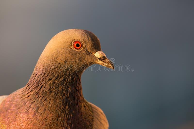 Close up de um pombo de rocha em meu balcão imagens de stock royalty free