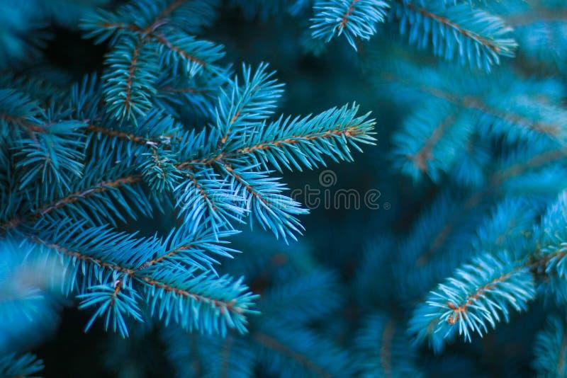 Close-up de um ramo de pinheiro imagem de stock