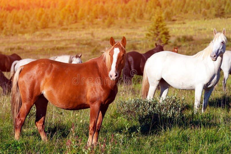 Close-up de um rebanho de cavalos marrons e brancos fotografia de stock royalty free