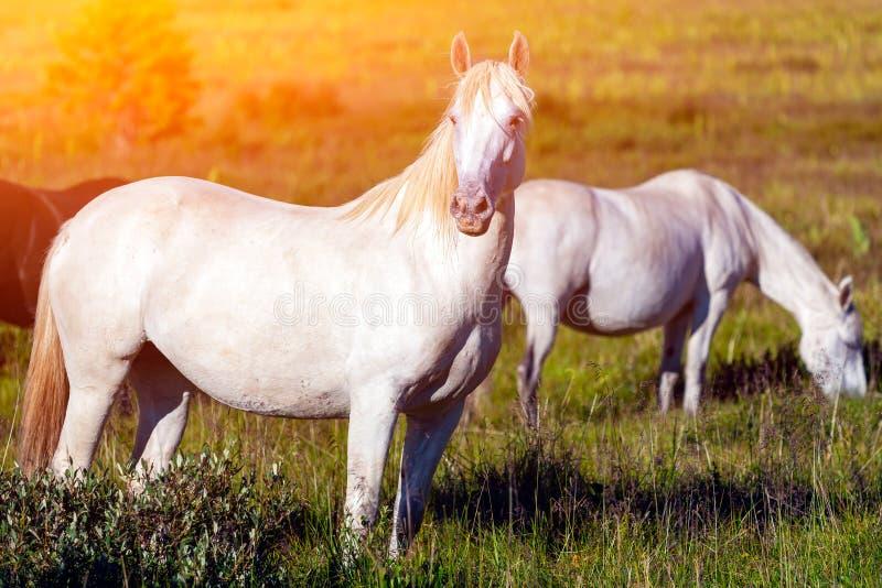 Close-up de um rebanho dos cavalos brancos imagem de stock royalty free