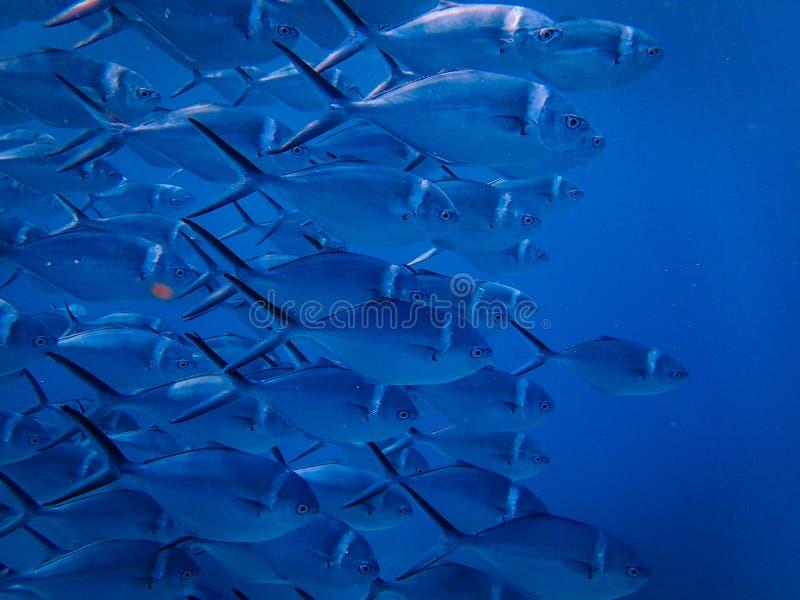 Close up de um rebanho dos peixes fotos de stock