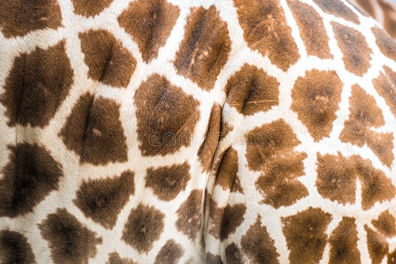 Close up de um revestimento do girafa do ` s de Rothschild foto de stock
