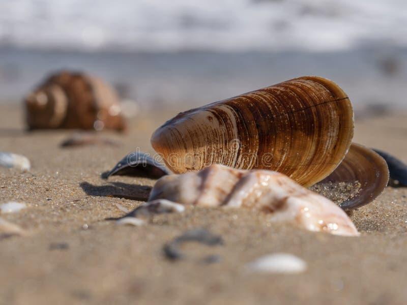 Close up de um shell vazio de um molusco do mexilhão do mar imagens de stock royalty free