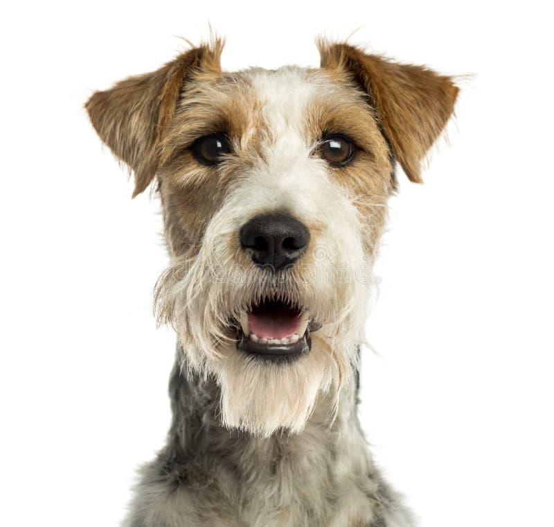 Close-up de um terrier de Fox que enfrenta, arfando, isolado imagens de stock