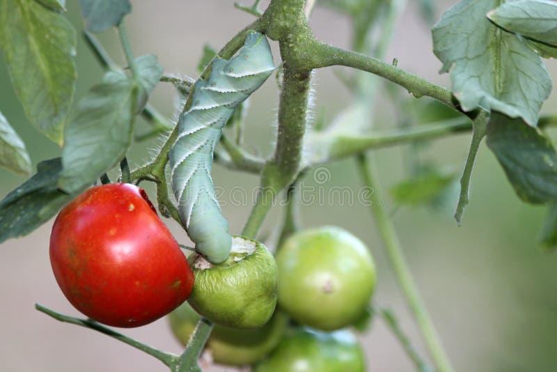 Close up de um tomate Hornworm fotos de stock