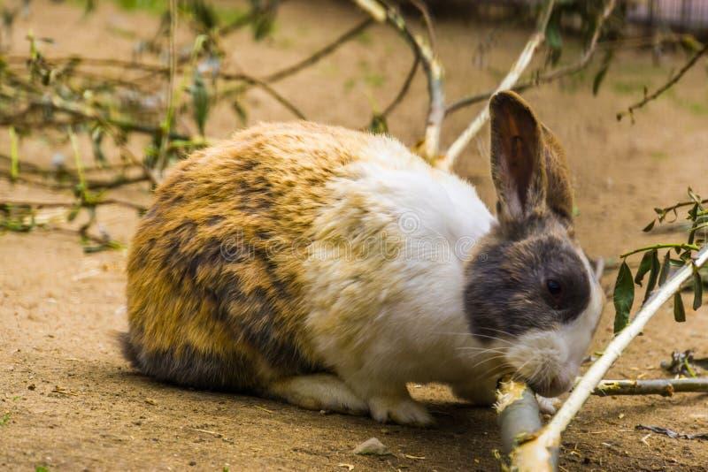 Close up de um tri coelho holandês colorido que mastiga em um ramo, raça holandesa popular do coelho dos Países Baixos foto de stock royalty free