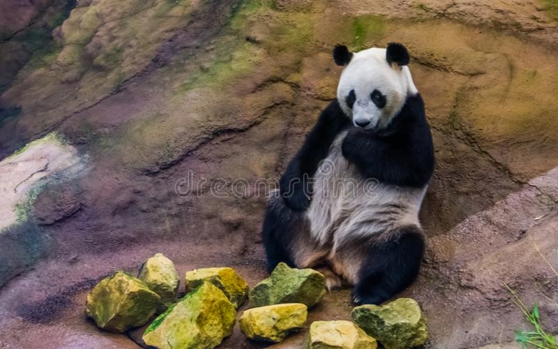 Close up de um urso de panda gigante que senta-se contra uma rocha, specie animal vulnerável de Ásia imagem de stock