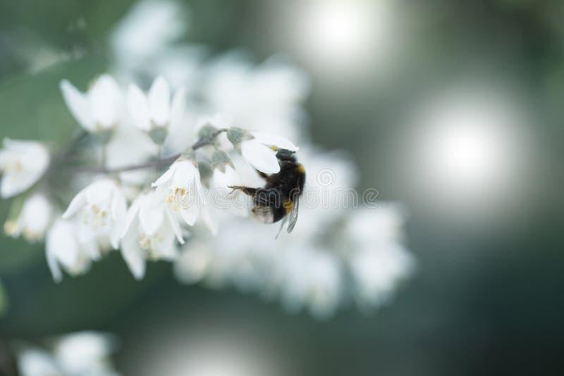 Close-up de um zangão pequeno em uma flor branca bonita Vista em um zangão bonito em uma flor branca surpreendente na mola fotos de stock