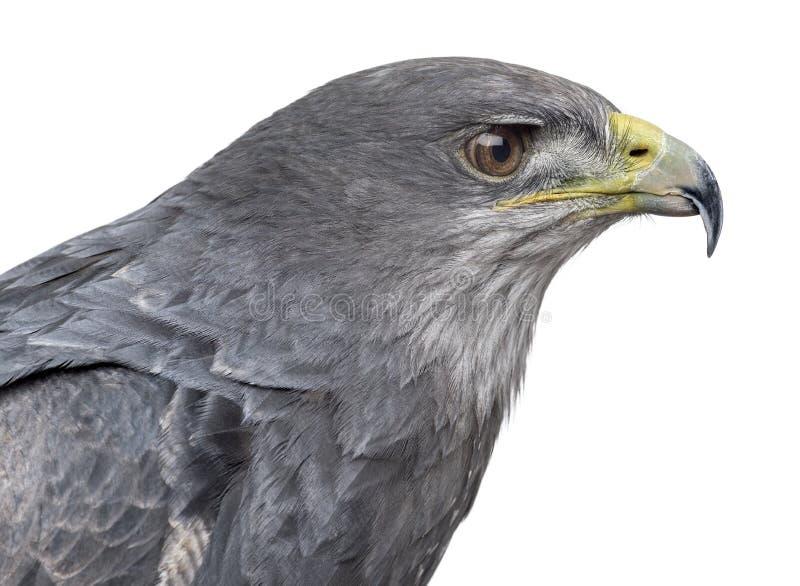 Close-up de uma águia azul chilena - melanoleucus de Geranoaetus fotos de stock royalty free