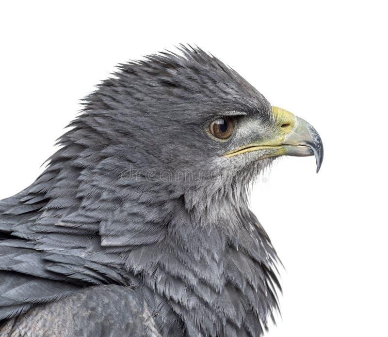 Close-up de uma águia azul chilena - melanoleucus de Geranoaetus fotos de stock