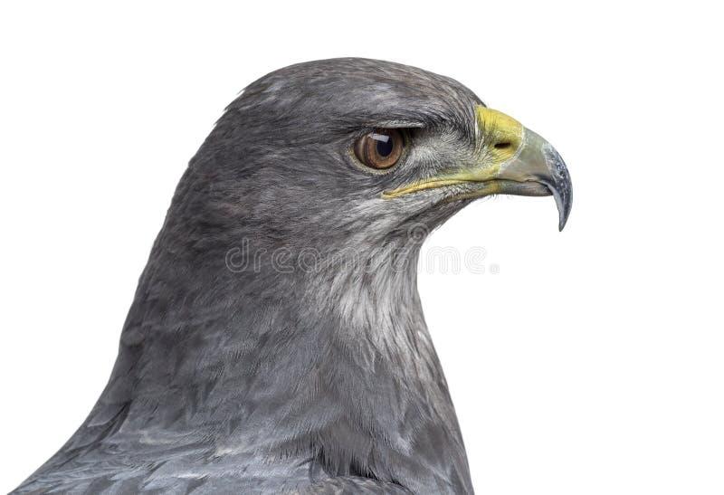 Close-up de uma águia azul chilena - melanoleucus de Geranoaetus imagens de stock royalty free