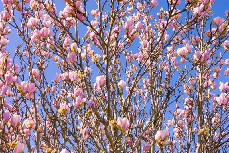 Close up de uma árvore cor-de-rosa de florescência da magnólia imagens de stock royalty free