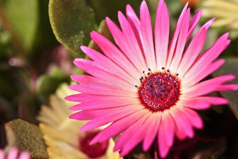 Close-up de uma única flor bonita da margarida fotos de stock royalty free