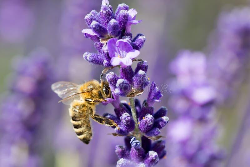 Close up de uma abelha em uma flor da alfazema foto de stock