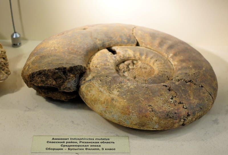 Close up de uma amonite fóssil pré-histórica gigante Museu Paleontological de Moscou O 1º de dezembro 2018 fotografia de stock royalty free