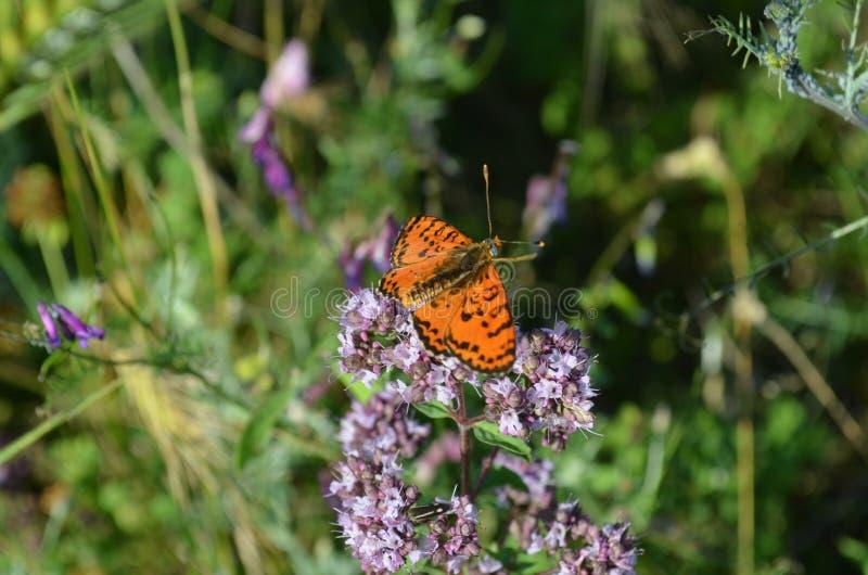 Close up de uma borboleta alaranjada em uma flor violeta, foco seletivo fotografia de stock royalty free