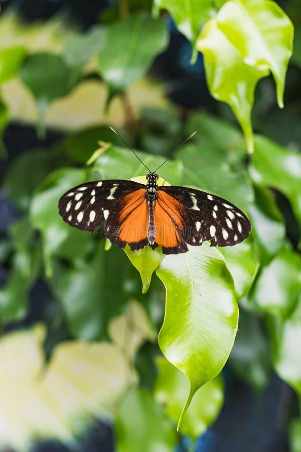 Close up de uma borboleta dourada do helicon em uma folha verde imagem de stock