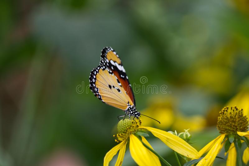 Close-up de uma borboleta de monarca africana fotografia de stock