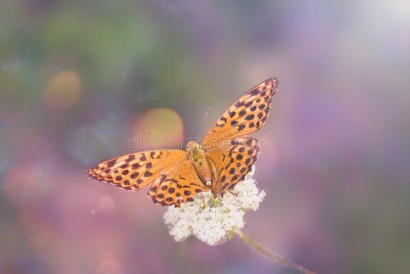 Close-up de uma borboleta selvagem alaranjada em uma flor do campo em uma tonificação feericamente bonita imagem de stock royalty free