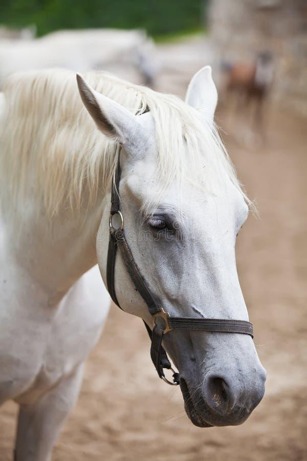 Close up de uma cabeça do cavalo branco de Lipizzan imagem de stock