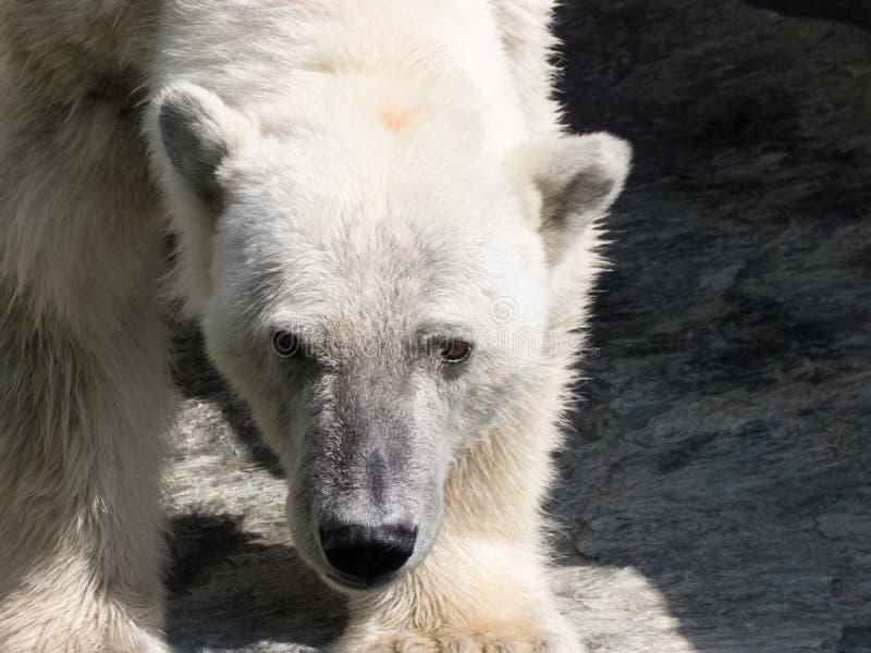 Close up de uma cabeça do urso polar com pele branca fotos de stock royalty free