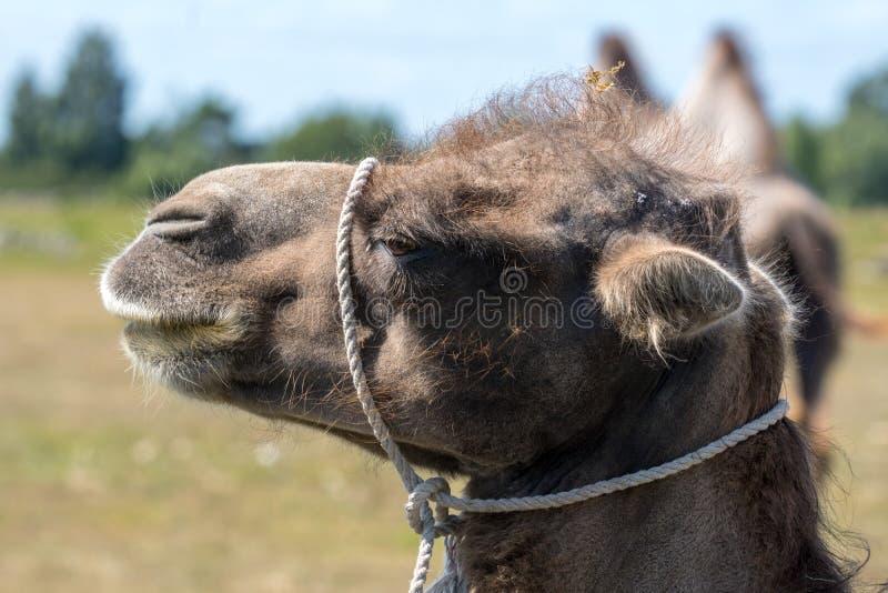 Close up de uma cabeça marrom do camelo com uma corda branca em torno de seu pescoço imagens de stock royalty free