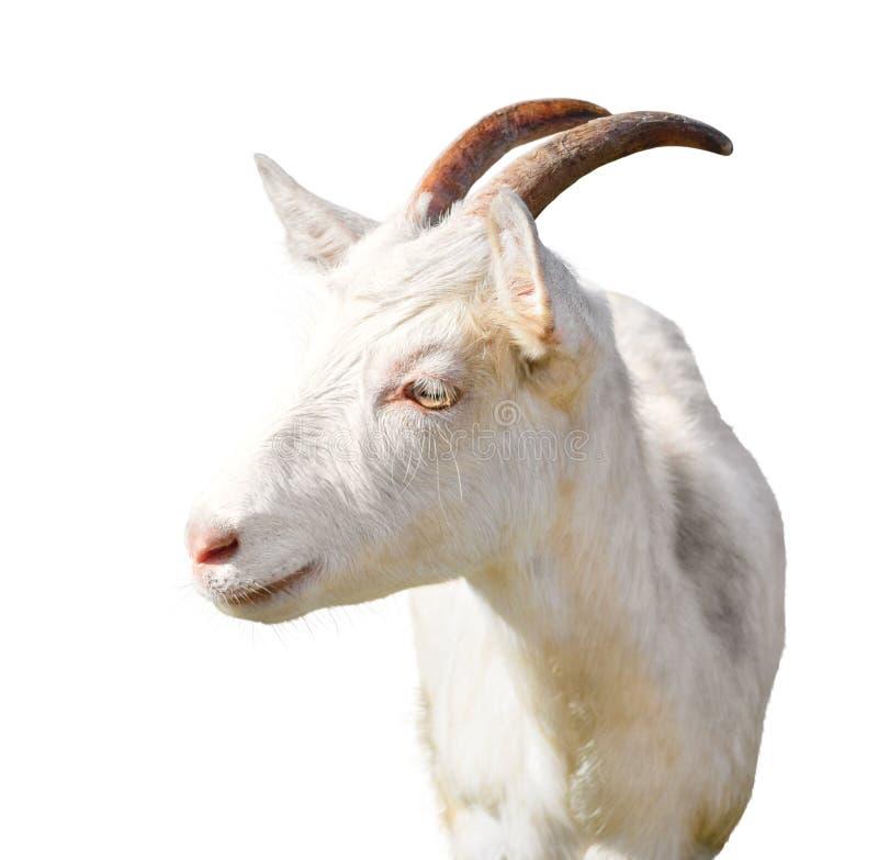 Close-up de uma cabra fotos de stock