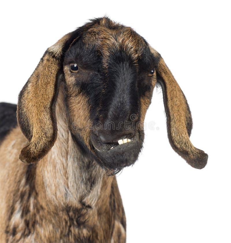 Close-up de uma cabra anglo-Nubian com uma maxila distorcida contra o fundo branco imagem de stock