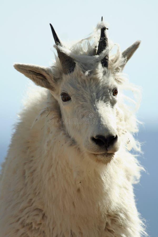 Close up de uma cabra de montanha imagem de stock royalty free