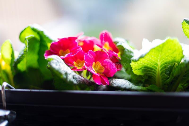 Close up de uma caixa do balcão com prímulas coloridas imagem de stock