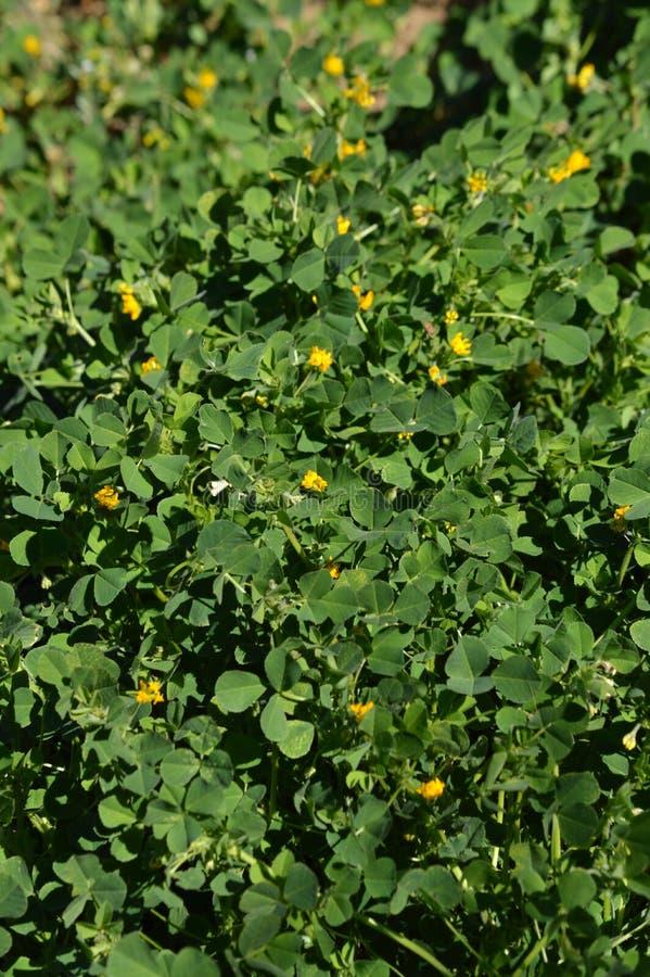 Close-up de uma Califórnia Burclover na flor, Burr Medic, Medicago Polymorpha, natureza, macro foto de stock royalty free