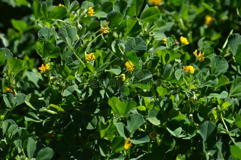 Close-up de uma Calif?rnia Burclover na flor, Burr Medic, Medicago Polymorpha, natureza, macro imagem de stock royalty free