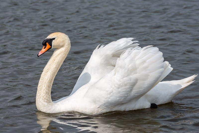 Close-up de uma cisne no perfil imagem de stock