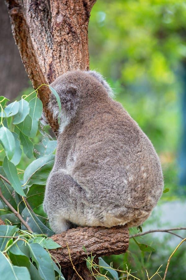 Close-up de uma coala adormecida em uma árvore imagem de stock royalty free