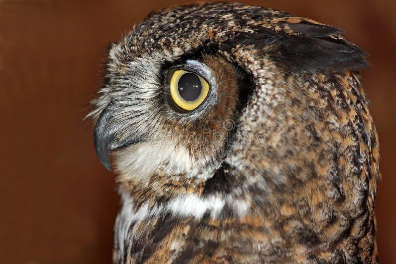 Close up de uma coruja Grande-Horned imagens de stock