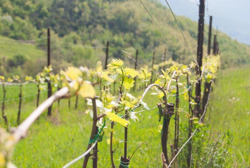 Close-up de uma fileira de um vinhedo adiantado para produzir o vinho imagem de stock